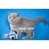 Чистокровные британские котята из питомника SILVERYSNOW